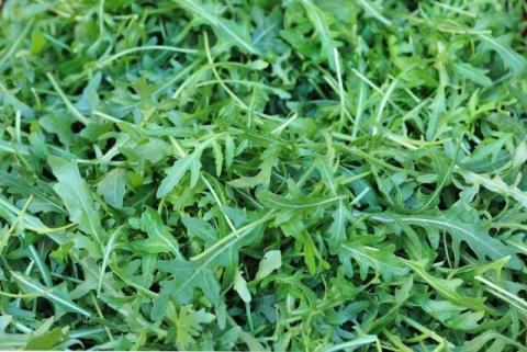 Рукола (индау) зелень